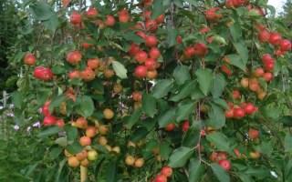 Яблоня плакучая