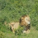 El día que vimos un león en Sudáfrica