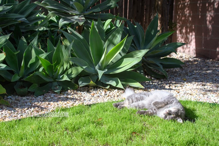 Colonel Whisters rolls around in the grass in front of the agaves.