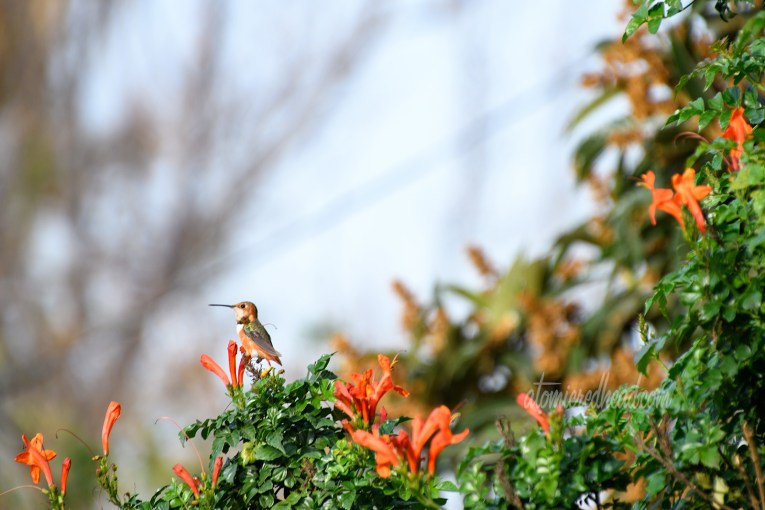 A hummingbird pauses at one of the orange honeysuckle flowers.