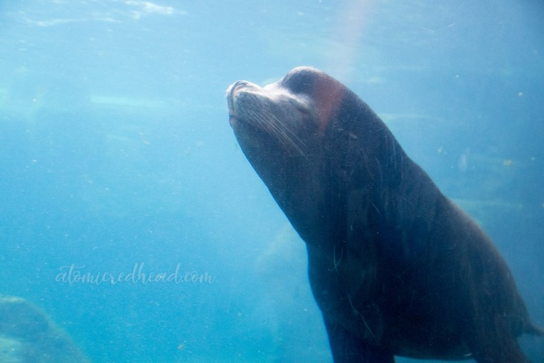A sea lion swims past the window.