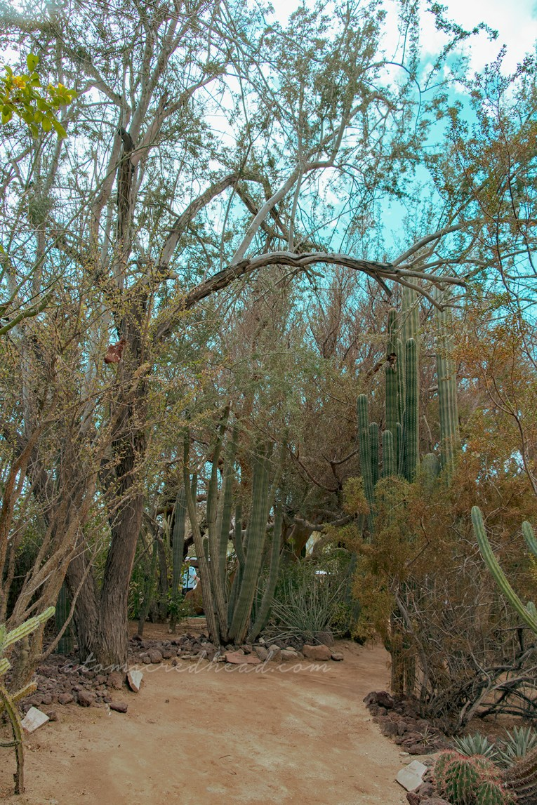 Tall thin cacti stretch toward a blue sky, a tree nearby branches over them.