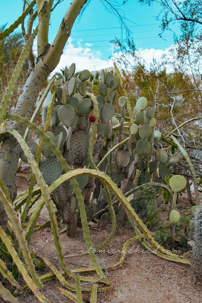 Spiny cacti curve back toward the ground, while prickly pear cacti grow in the background with magenta fruit growing on them.