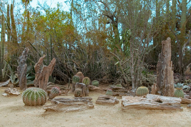 Various cacti grow among pieces of petrified wood.