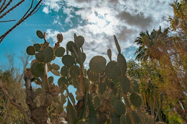 Prickly pear stretch toward the sun.
