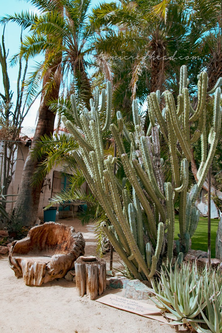 A tall cactus with many sections grows tall next to a chair made from a stump.