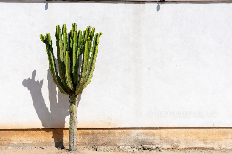 A single tall cactus stands against an adobe wall.