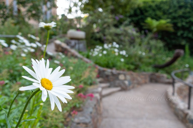 A white daisy grows along the pathway of the garden.