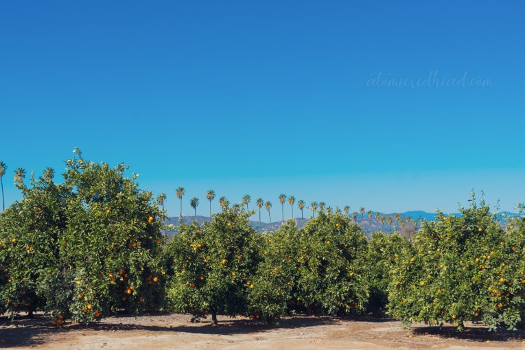 Rows of orange trees with tall palm trees in the distance, and mountains further back.