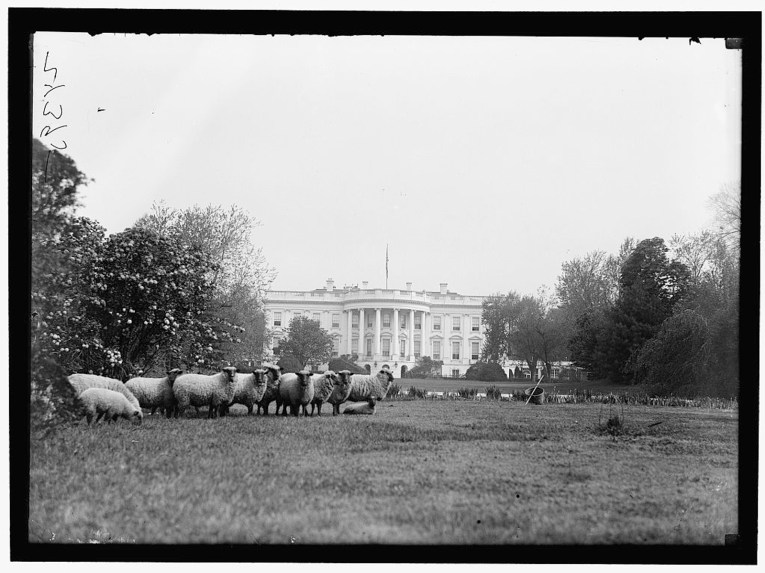 Sheep graze on the lawn of the White House