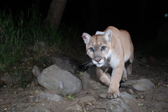 Photo of P22, a gorgeous, golden mountain lion with a little white around his mouth and chin, walks along a dirt path