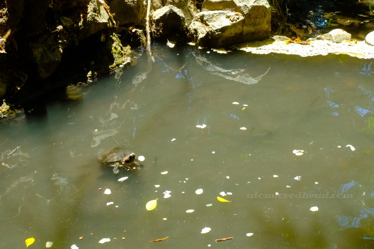 A turtle peeks out from the stream.