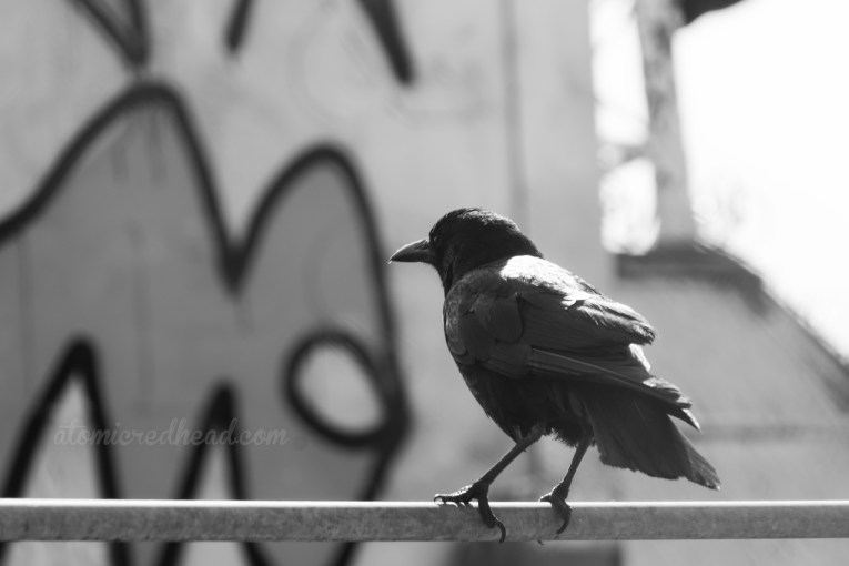 Black and white photo of a crow on a railing, graffiti is visible behind it.
