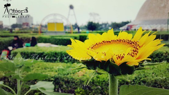 AtoofaPhotography SunFlower ScienceCity Kolkata Flower Nature NaturalBeauty PicOfTheDay InstaPic Instagramhellip