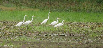 egrets-1