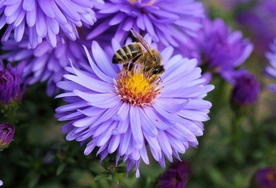 abeille butinant une fleure violette