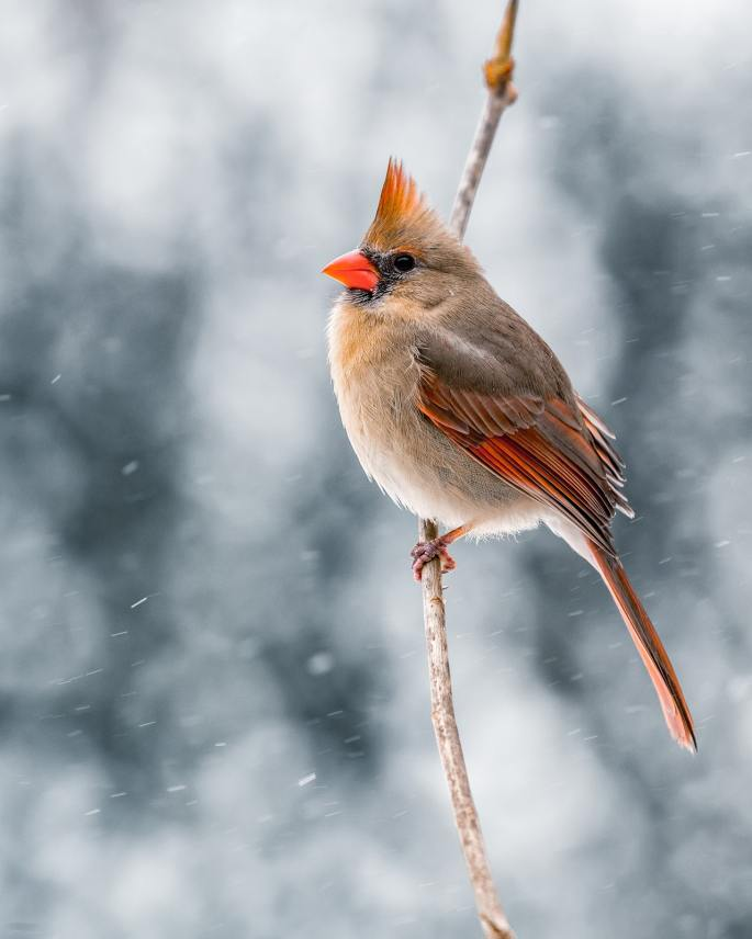 genesis 26 female cardinal www.atozmomm.com