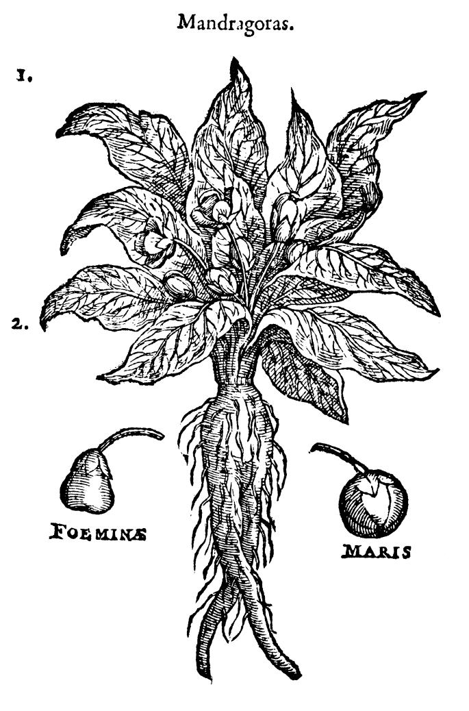 mandrake plant in bible www.atozmomm.com