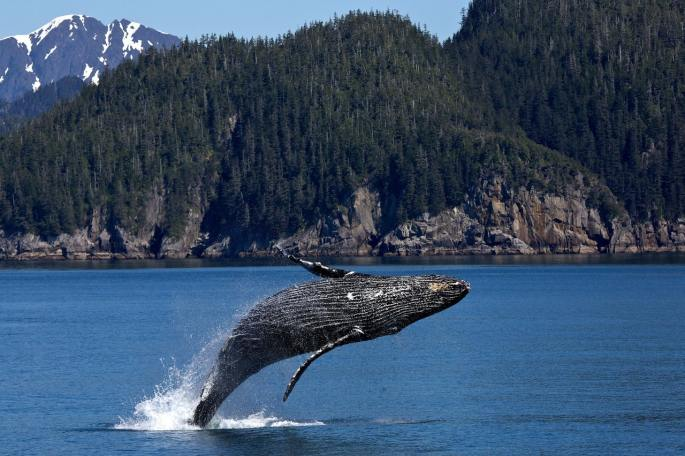 humpback whale www.atozmomm.com