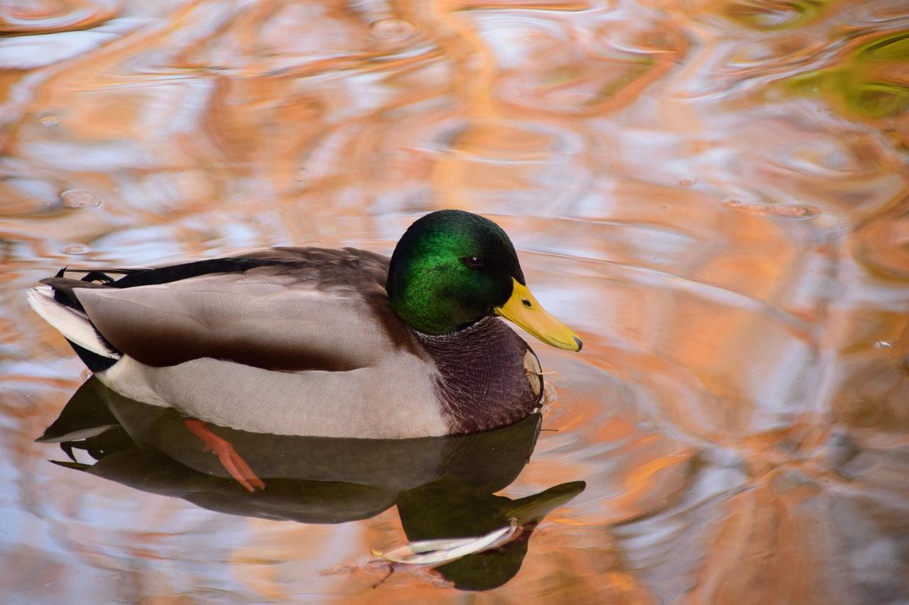 mallard duck www.atozmomm.com