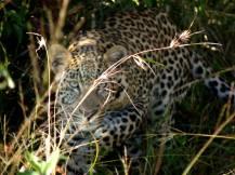 Leopard, intense stare