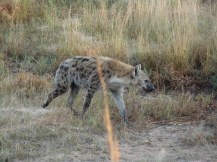 This hyena was on a mission - he could smell something tasty