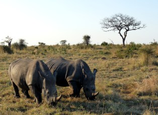 Rhinos are just big hornery lawn mowers