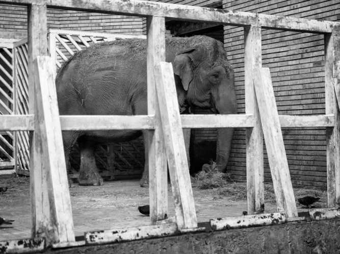 Elephant behind the bars - Pent animal project
