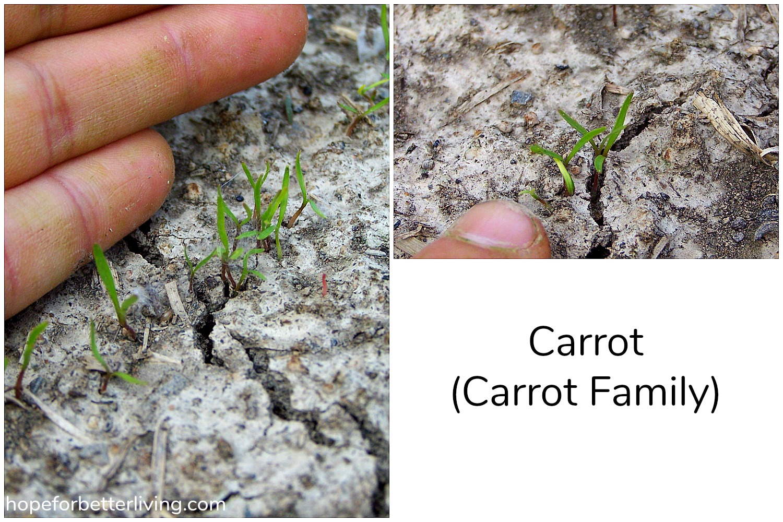 How to Identify Seedlings in the Vegetable Garden