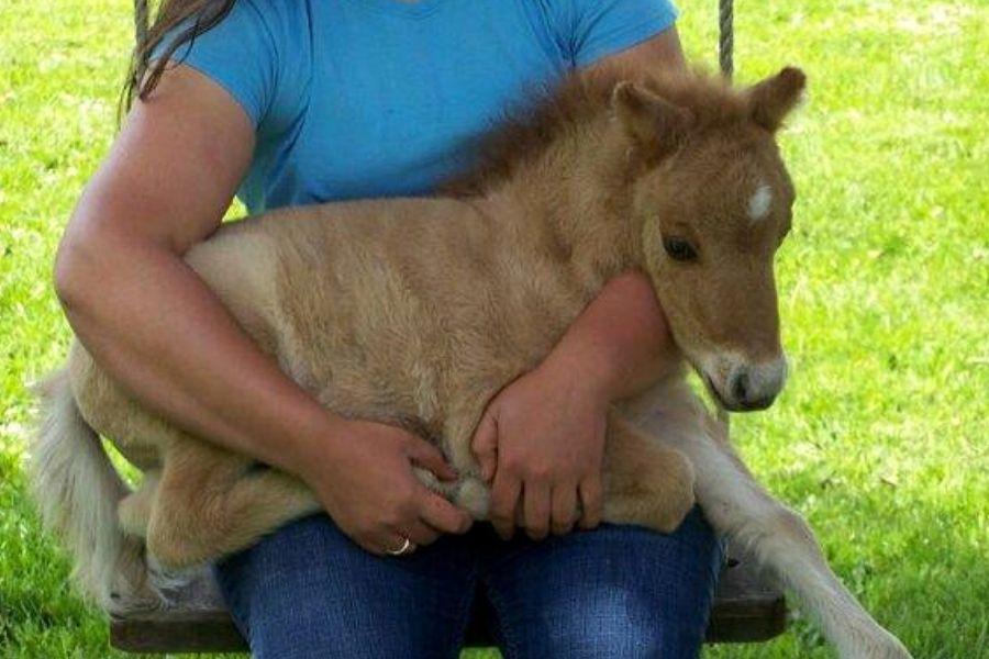 miniature horse foals are no bigger than a dog!