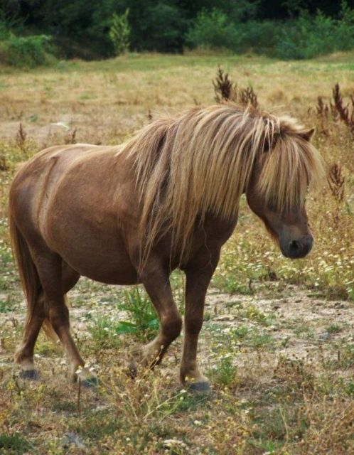 Miniature stallion and what you need to know about keeping him
