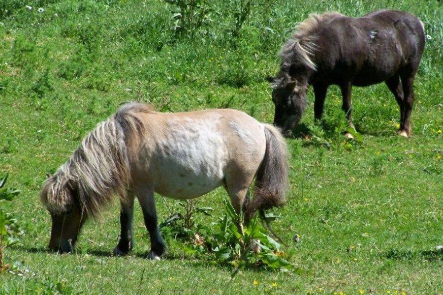 Grazing miniature horses on the pasture