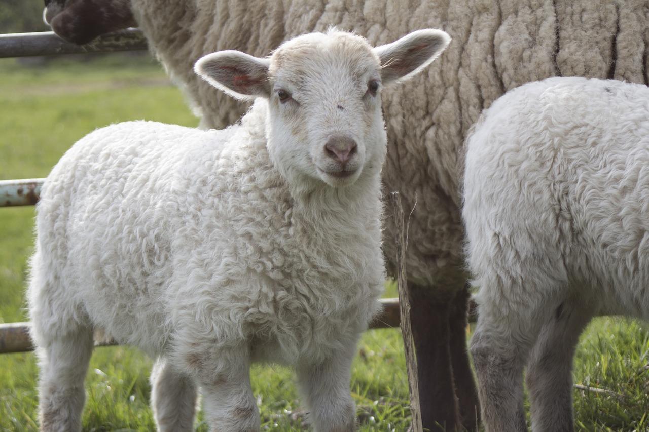 Raising Sheep for Meat: Bringing Lambs Home