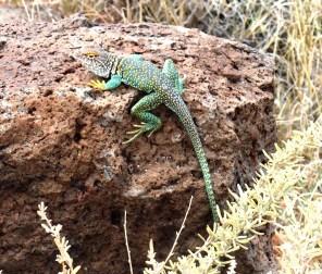 LizardCroppedS