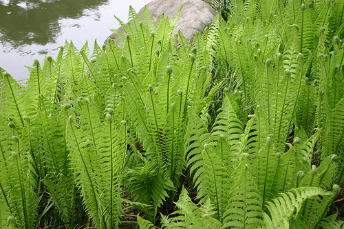 https://i2.wp.com/atreegarden.com/wp-content/uploads/2017/03/5924574123_c8690ee859_ostrich-fern.jpg?fit=300%2C199