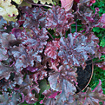 Heuchera melting fire photo