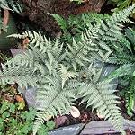 ghost fern photo
