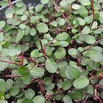 creeping wire vine photo