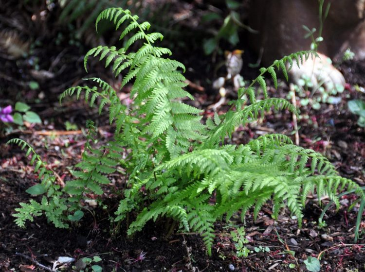 https://i2.wp.com/atreegarden.com/wp-content/uploads/2017/04/dwarf_lady_fern.jpg?fit=300%2C224