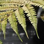 Athyrium otophorum photo