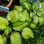 hosta stained glass photo