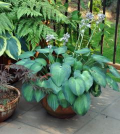 Hosta Division in a Pot
