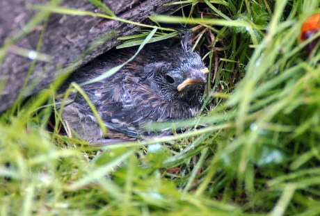 Dark-eyed Junco Babies Galore