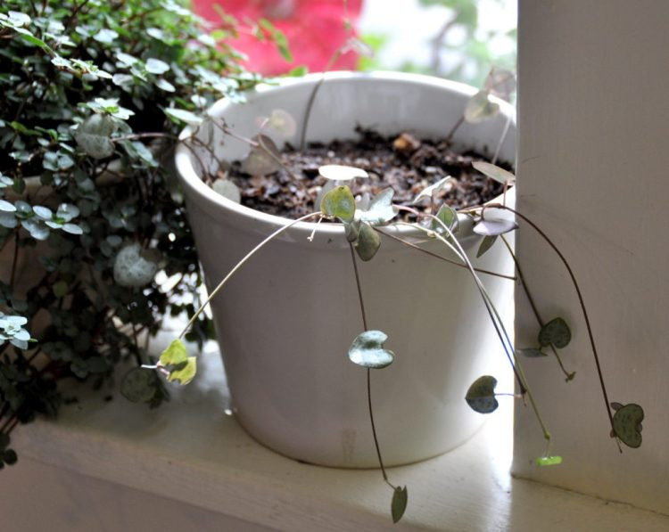 String of Heart Propagaton on the Window Sill