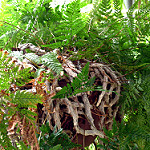 rabbit foot fern photo