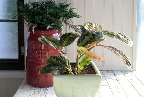 Fern and Red Maranta