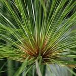 Cyperus photo