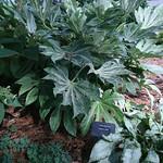 fatsia japonica spiders web photo
