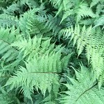 lady in red fern photo
