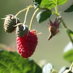 loganberry photo